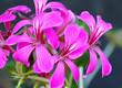 canvas print picture - Fiori di geranio parigino in primo piano. Fiori rosa.