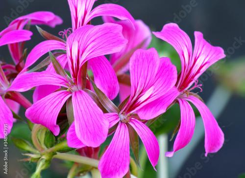 Stampa su Tela Fiori di geranio parigino in primo piano. Fiori rosa.