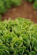 """Biting Stonecrop, Or Orpine, Botanical Garden, Tokyo, Japan. Japanese Name Is  """"Benkei-sou""""."""