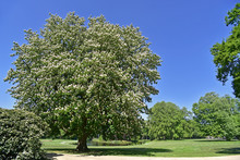 Blossoming Horse-chestnut / Conker Tree (Aesculus Hippocastanum) In Park, Showing White Flowers In Spring
