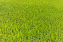 Green Rice Field In Vietnam