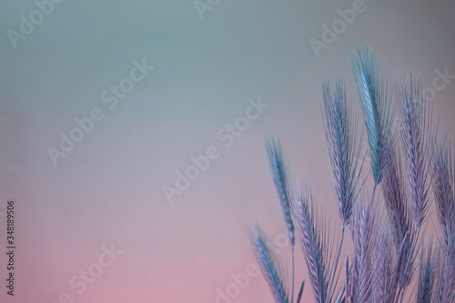 Valokuvatapetti Abstract spikelet of wheat color light