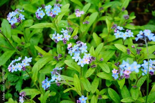 Niezapominajki kwiatki z bajki