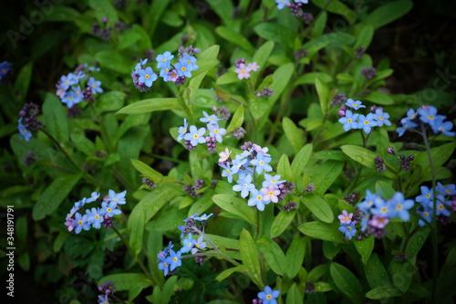 Niezapominajki kwiaty z bajki