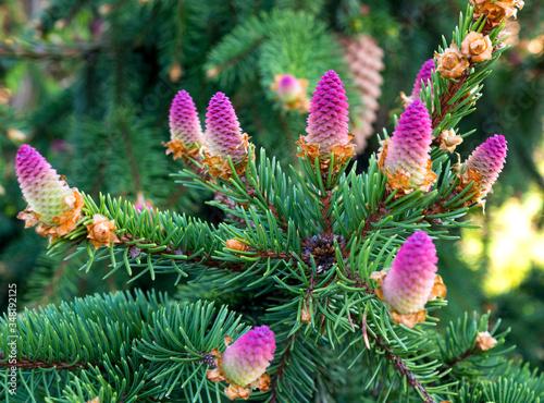 Photo Rare coniferous plants