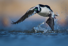 Water Level Image Of Bufflehead Drake Bursting Out Of The Water With Stretched Wings Displaying His Iridescent Colored Head With Soft Blue And Warm Tones In Background