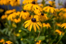 Close-up Of Black-eyed Susan G...