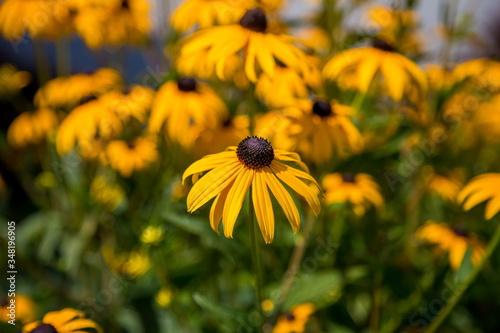 Fotografie, Tablou Close-up Of Black-eyed Susan Growing On Field