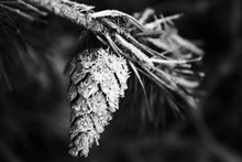 Close-up Of Frozen Pine Cone