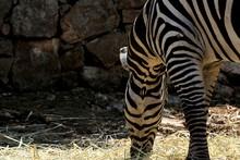 Cropped Image Of Zebra Grazing...