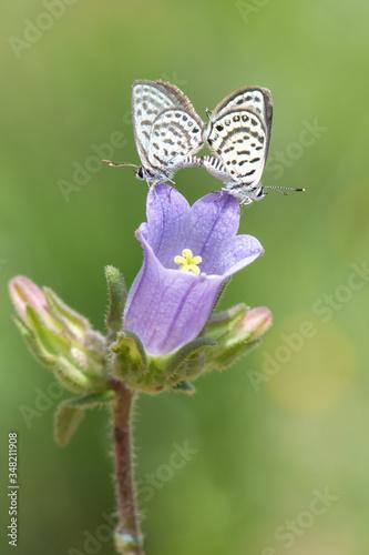 Fototapety, obrazy: Lycaenidae / Balkan Kaplanı / / Tarucus balkanicus