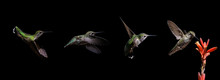 Hummingbird Progression Feedin...