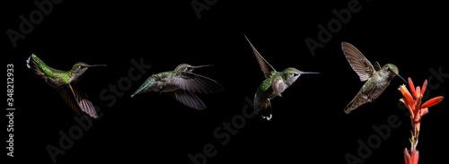 Fotografia, Obraz Hummingbird Progression Feeding on Aloe Vera Bloom