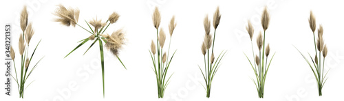 Fototapeta Set or collection of pampas grass isolated on white background. Concept or conceptual 3d illustration for nature, ecology and conservation, beauty and health, spring or summer obraz