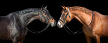 Two Horse In Bridle Portrait. ...