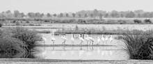 Panoramic View Of Spoonbills O...