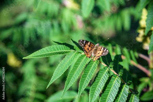 Photo Monarch Butterfly Danaus plexippus