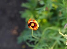 Scarlet Poppy Flower