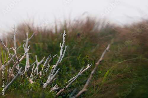 Swamp with high green grass and dry branch in the fog Slika na platnu