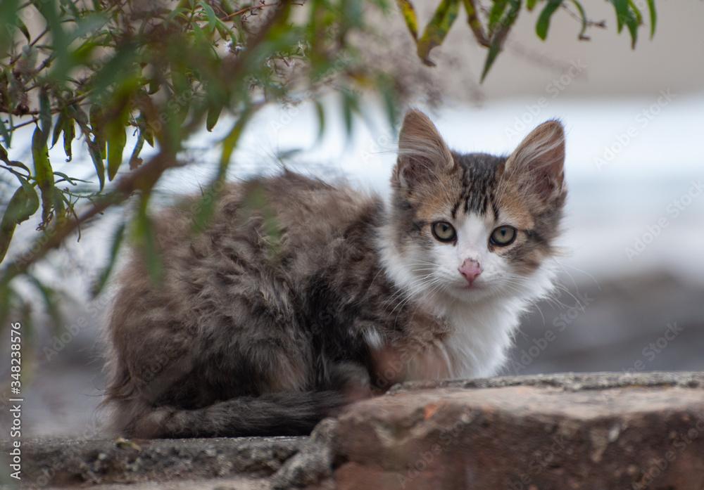 Fototapeta felinos, animal, gatita, mascota, cuca, orejas, domestica, felinos, pelaje, retrato, joven, ocular, mamífero, bebé, miniatura, ocular, hermoso, verde, naturaleza, césped, mascota, gato atigrado, adora