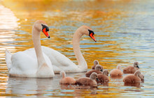 Swan. White Swans. Goose. Swan Family Walking On Water. Swan Bird With Little Swans. Swans With Nestlings.