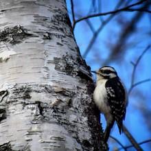 Close-up Of Downy Woodpecker Perching On Birch Tree