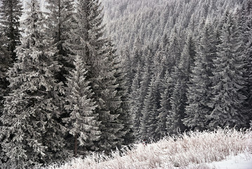 Obraz na Szkle Góry Snow covered spruces in the mountains Beskidy in Poland.