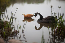 Black Swan And Duck On Calm Lake