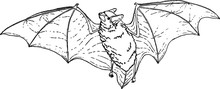 Flying Bat Line Art, Vector Sk...