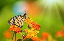 Monarch Butterfly (Danaus Plex...