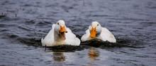 Pair Of White Ducks