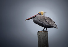 Brown Pelican Resting On Pole
