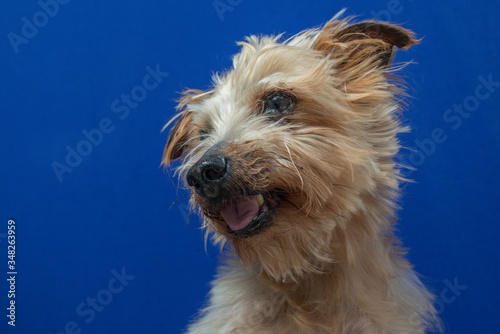 Fototapeta close-up portrait yorkshire dog making beautiful expressions in studio with blue