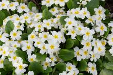Growing White Wet Primula Flow...