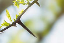 Large Acacia Needles And Young...