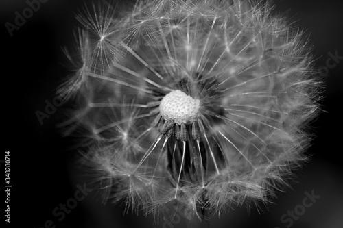 Fototapety, obrazy: Close-up Of Dandelion Against Black Background