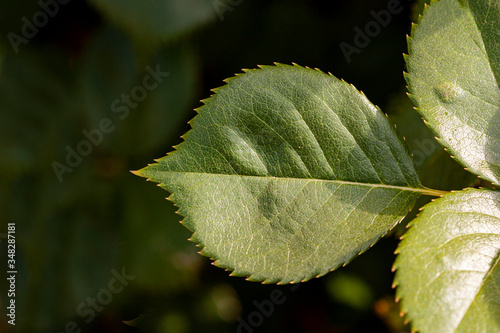 Fototapeta Serrated green leaf from a rose  in the garden