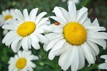 High Angle View Of Ladybug On Daisy