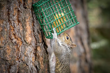 Hungry Squirrel Raids The Bird...