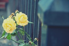 View Of Yellow Roses
