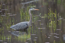Great Blue Heron Wading In Wat...