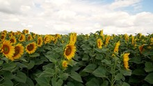 Beautiful Happy Asian Woman Portrait Smiling In Sunflower Field With Pinwheel, Slow Motion.