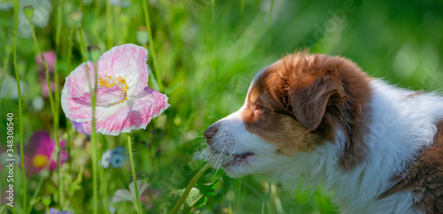 puppy of australian shepherd in the garden #348308540