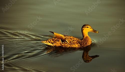 Valokuva Close-up Of Mallard Duck Swimming On Lake