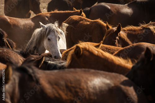 Fototapeta Wild horses of Cappadocia at sunset with beautiful sands, running and guided by a cawboy obraz