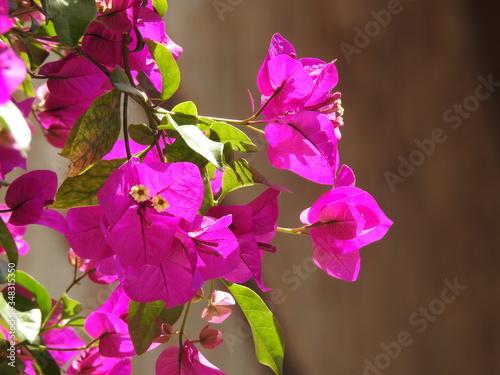 Fotomural flower, nature, purple, plant, flowers, garden, pink, spring, blossom, bougainvi