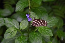 Heliconius Charithonia, The Zebra Longwing Or Zebra Heliconian Butterfly, On A Flower.