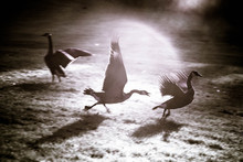 Canada Geese Running On Grassy Field
