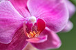 canvas print picture - Home flower, Beautiful violet phalaenopsis orchid, close up