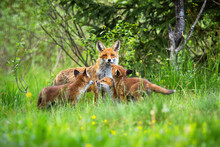 Female Of Red Fox, Vulpes Vulpes, Showing Its Tongue While Taking Care Of Cubs. Adorable Fox Family On The Meadow Full Of Wildflowers. Horizontal Portrait Of Fox Family Capturing Their Behaviour.